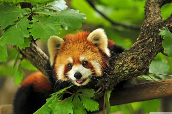 Le panda roux, un animal en voie de disparition
